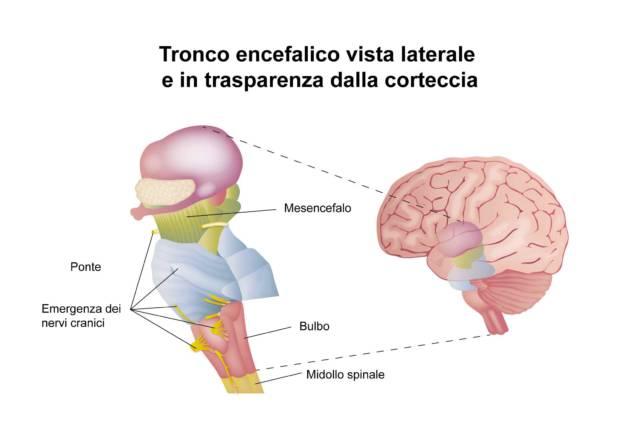 Il cervello - Il tronco encefalico