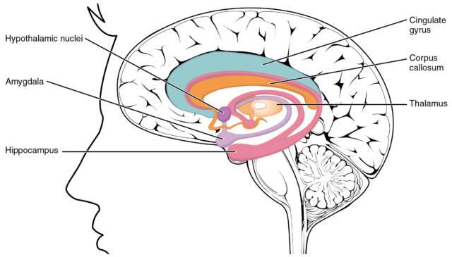 Il cervello limbico